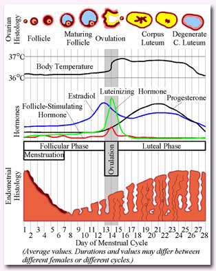 Menstrual Cycle Phases Images & Pictures - Becuo